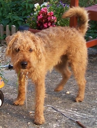 A shaggy looking red Lakeland Terrier is standing on a back porch. Its head is down and its tail is up and it is looking forward. There is a red deck and a flower bed with pink, purple and white flowers in it behind the dog.