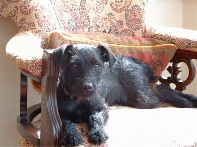 A black Lakeland Terrier is laying in a fancy arm chair looking forward.
