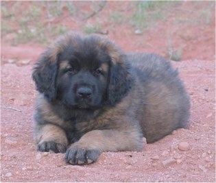 A small fluffy tan and black Leonberger puppy is laying in red dirt and looking forward.