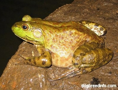 Close up -  The left side of a Bullfrog waiting on a wet rock.