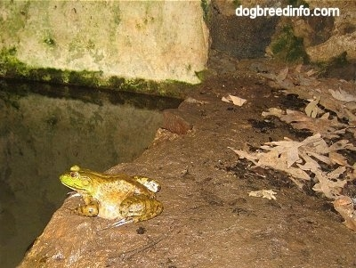 Bullfrog waiting on a wet rock in front of a body of water