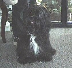 A long-coated, black with white Lha-Cocker dog is sitting on a tan carpet in front of a person and a glass door.