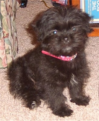 A small, furry black Lhaffon puppy is wearing a red collar sitting on a tan carpet next to a tan flowered couch.