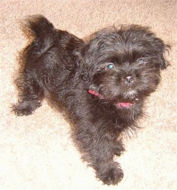 A small, black, furry Lhaffon puppy is wearing a red collar standing on a carpet and looking up.