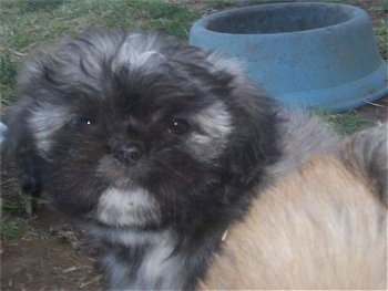 7 week old Lhasanese puppy (Mom is a Pekingese, Dad is a Lhasa Apso)
