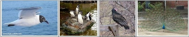 Left - seagull flying over water, middle left - Four Penguins on a stone in the middle of water, middle right - Vulture waiting on a wood beam, Right - Peacock with wings spread