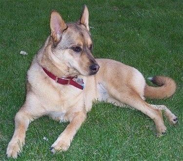 German Shepherd Akita Mix