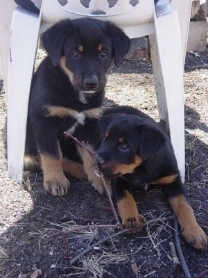 Two black with tan and white mixed breed puppies are sitting and standing under a white, plastic lawn chair in dirt.