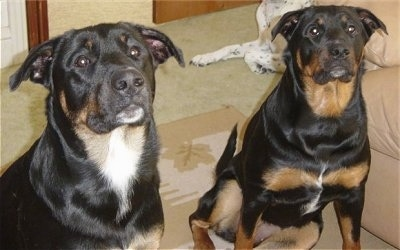 Two large, short-haired, black with tan and white mixed breed dogs are sitting on a rug next to a tan leather couch. There is a third large white with black ticked dog behind them.