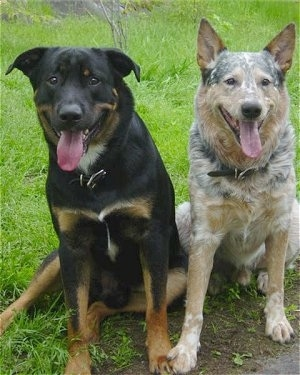 Close up - A large breed black and tan with white dog is sitting in grass next to a red merle colored Australian Cattle Dog.