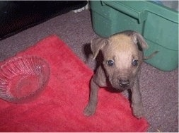 View from the front - A small, tan with black Mexican Hairless Dog/Bullmastiff mix puppy is standing on a red pillow and on the pillow is a glass dish. There is a plastic green bin behind it.