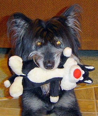 Maddy the Terrier mix sitting on a tiled floor with a plush Sylvester the cat in its mouth