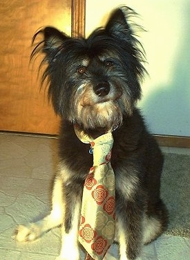 View from the front - A scruffy looking, black with tan Terrier mix is sitting in front of a door and it is looking forward. Its head is tilted slightly to the left. It is wearing a tie. It has longer fringe hair on its head and a beard.