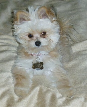 8 month old Yorktese (also known as a Malkie or Morkie)