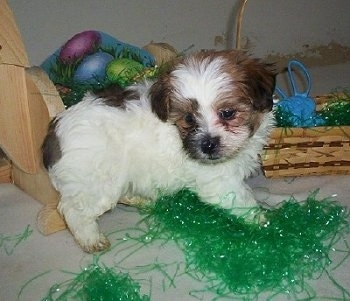 A white with black and brown Malti-poo puppy is walking around on a white tiled floor on top of contents of a deconstructed easter basket. It is standing on the green Easter basket grass with brown baskets and candy behind it.