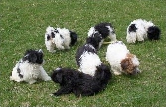A litter of 7 Malti-poo puppies are sniffing the grass they are sitting and standing on.