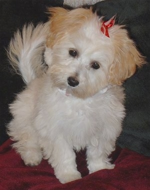 A white with tan Malti-poo is sitting on a red blanket and a couch. Its head is tilted to the left and it has a red ribbon on the top of its head.