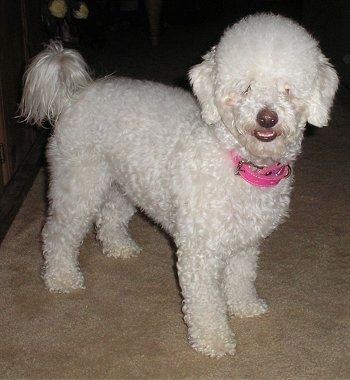 Side view - A curly, groomed short white Malti-poo dog is wearing a pink collar standing on a tan carpet and looking forward. Its mouth is slightly open showing its bottom row of teeth.