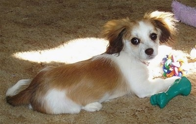 A tan and white Malton puppy is laying on a tan shag carpet and it is looking back. There is a green toy under its paw and a colorful toy in front of it with a beam of sun shining on it. It has longer hair on its fringe ears.