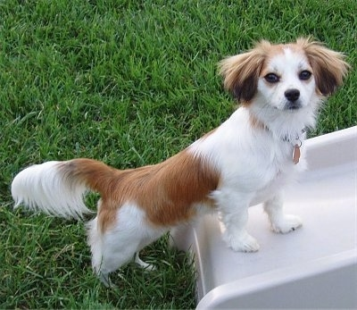A medium-haired, tan and white with black Malton dog is standing in grass and on top of the bottom part of a slide. It has longer hair on its ears and tail.