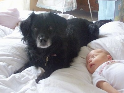 A black with white Markiesje is laying on a human's bed and there is a small baby next to it who is looking at the dog.