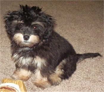 A small fluffy black and tan Mauxie puppy is sitting on a tan carpet with a tan plush toy in front of it.