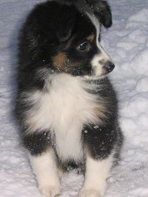 Zoe, the Mini Aussie at 9 weeks-her first snow!