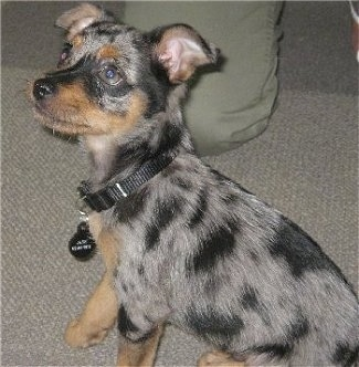 A blue merle Mini Australian Shepterrier puppy is wearing a black collar sitting on a carpet and looking up with a person kneeling behind it.