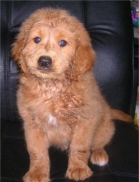 Miniature Goldendoodle Dog Breed Information and Pictures