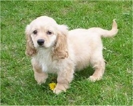 Front side view - A cream and tan Petite Goldendoodle puppy is standing in grass on top of a yellow dandelion looking forward.