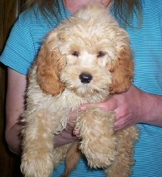 Close up front view - A wavy-coated, fluffy, Petite Goldendoodle puppy is being held in the hands of a person who is wearing a teal blue shirt.