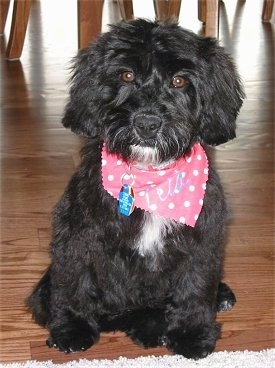 A black with white Miniature Labradoodle is wearing a pink polkadot bandana and it is sitting in front of a rug.