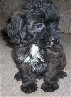View from the front - A wavy coated black with white Miniature Labradoodle puppy is sitting on a couch and looking to the right.