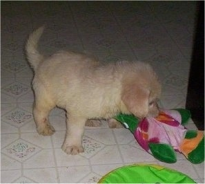 A tan Miniature Labradoodle puppy is standing on a tan tiled floor and it is biting a green and pink plush toy.