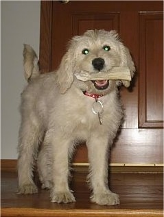 Front view - A tan Miniature Labradoodle puppy is standing in front of a doorway with a bone in its mouth.