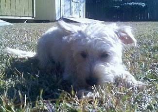 A miniature wavy coated white Whoodle dog is laying down outside in grass and it is looking forward.