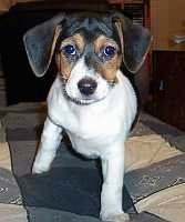 Mali, the Minnie Jack at 3 months old. Her mother was a Min Pin, her father was a Jack Russell