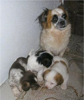 There are three Pekingese mix puppies looking down at the ground on a white with brown tiled floor. The mother is behind it. The adult dog has a big underbite showing off its bottom teeth.