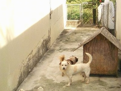 A white with tan Pekingese mix is standing on concrete in an alleyway in front of a doghouse. There is another brown with white mixed breed dog next to the doghouse.