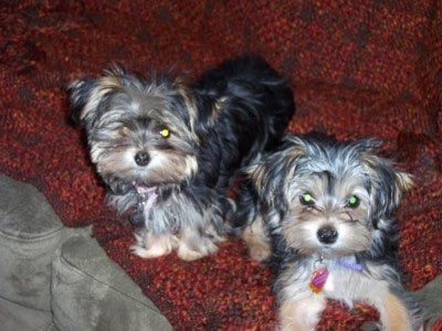 Winry and Sally, two adorable Morkies at 4 months old hangin out on the sofa. Their mom was a Teacup Yorkie and the dad was a standard Maltese.