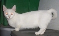Side-view of a white cat with very short front legs
