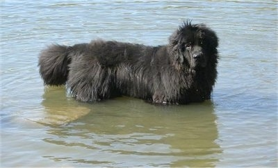 Side view - A huge, black Newfoundland dog is standing in a body of water that is waste high.