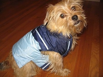 A long coated wiry, tan Norfolk Terrier is sitting on a hardwood floor wearing a royal blue, baby blue and white jacket.