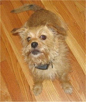 view from above looking down at the dog - A tan Norfolk Terrier is standing on a hardwood floor looking up.