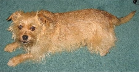 Right Profile view from the top looking down at the dog - A wiry, tan Norfolk Terrier is laying across a green carpet looking up.