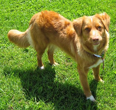 Nova Scotia Duck Tolling Retriever | Dog Doors