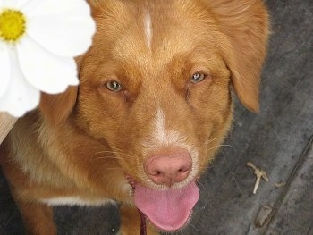 Close up head shot view from above looking down at the dog - A red with white Nova Scotia Duck Tolling Retriever is standing on a wooden porch. Its mouth is open and its tongue is out. There is a white with a yellow in the center flower in the upper left half of the image.