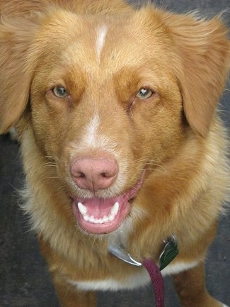 Close up head shot - A happy-looking, red with white Nova Scotia Duck Tolling Retriever dog is standing in a parking lot. It is looking up and its mouth is slightly open.