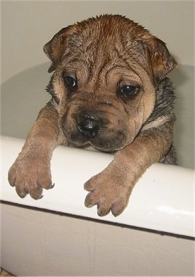 Front side view head and upper body shot - A wrinkly, wet tan with black Ori Pei puppy is jumped up with its paws over the edge of a tub full of water.