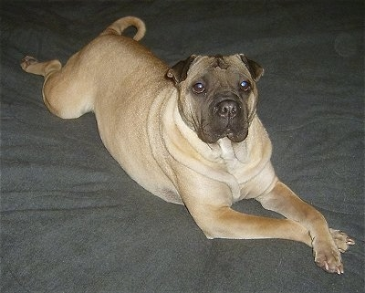 Front side view - An overweight, wrinkly headed, extra skinned, tan with black Ori Pei is laying stretched out on top of a bed and it is looking up.